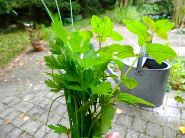 danie zioła
